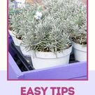 Easy Tips to Grow Lavender Anywhere