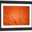 Framed Photo. Microscopic view of intestinal villi inside the