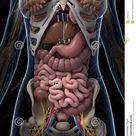 Female anatomy stock illustration. Illustration of medical - 30725878