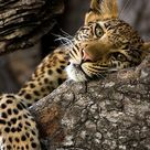 Portrait of a leopard resting in a tree. | Roy Toft Photo Safaris