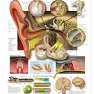 The Ear: Organs of Hearing and Balance Anatomical Chart by drldf