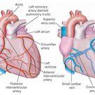 What is coronary circulation?   Socratic