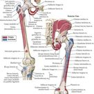 Muscle Anatomy Bones Fitness Training Health Physiology Workout