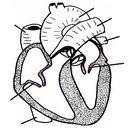 Rat- Circulatory