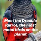 Meet the Dracula Parrot, the most metal birds on the planet