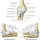elbow ligaments