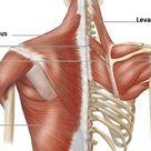 Shoulder Muscles Origin, Insertion, Nerve Supply & Action