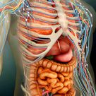 'Perspective View of Human Body, Whole Organs And Bones' Photographic Print - Stocktrek Images | AllPosters.com