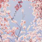 Hanami Wallpaper | Kostenlose Hintergründe Mobil & Desktop (HD)