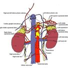 Thyroid, Parathyroid, Adrenal, Endocrine Surgery, Anatomy of the Adrenal Glands