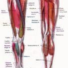 legs muscle diagram