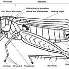 Fig 5 External anatomy of a grasshopper. Josef Tumbrinck