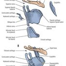 Laryngeal Cartilages Gross and Functional Anatomy of The Larynx - StudyPK