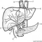 Liver Meaning   Best 26 Definitions of Liver