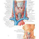 Thyroid Gland: Anterior View Anatomy