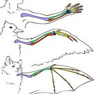 Human, Bird, and Bat Bone Comparison