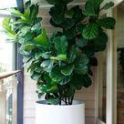 Considering the Fiddle Leaf Fig Tree - Gardenista