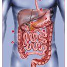 Human Digestive System Diagram   Weight Management   Genesis