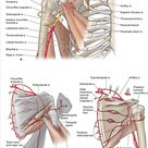 Chapter 30. Shoulder and Axilla | The Big Picture: Gross Anatomy | AccessMedicine | McGraw-Hill Medical