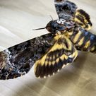 Death's Head Moth Acherontia lachesis, Real Specimen for Bug Pinning Artwork Collection Gifting Natural History Silence of the Lambs Movie