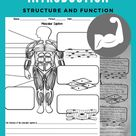 Muscular System Introduction Structure and Function