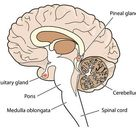 What is the difference between the pituitary gland and the pineal gland? | Socratic