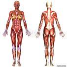 3D  female body anatomy Stock-Illustration