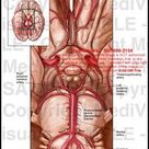 Circle of Willis and Basivertebral System Medical Exhibit