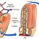 microvilli small intestine - Google Search