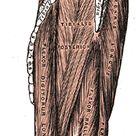 Fibularis Longus/Peroneus Longus Origin Upper lateral shaft of fibula[1]  Insertion first metatarsal, medial cuneiform[1]  Artery fibular (peroneal) artery  Nerve Superficial fibular (peroneal) nerve[1]  Actions plantarflexion, eversion, supportarches[1]  Antagonist Tibialis anterior muscle