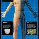 Diagram of the Human Integumentary System Infographic