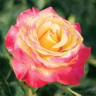 Award Winning Roses for Your Garden  Better Homes & Gardens