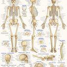 QuickStudy Skeletal System Laminated Poster