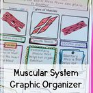 Muscular system anatomy for kids printable notes worksheet anchor chart