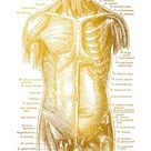 Human Anatomy Artwork Medical Posters and Prints Wall Art Picture Golden Skeleton Organ Muscle Body Education Canvas Painting - 50x70cm no frame / A