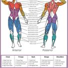 SPORTAXIS- Muscular System Anatomy Poster with Coloured Illustrations- No-Equipment Laminated Home Training Wall Poster - Home Workout Posters for Men and Women -18