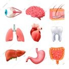 Human internal organs anatomy realistic set with lungs brain liver intestine stomach heart eye isolated vector illustration