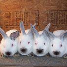 Meat pen rabbits for sale