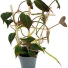 Fangblatt - Philodendron Micans am Spalier ↑ 40 cm - Baumfreund mit samtigen Blätter - stylische Rankpflanze