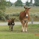 Draft Mule