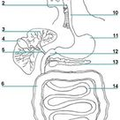 The Digestive System- Printable Picture Worksheet - Lesson Tutor