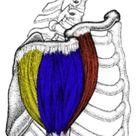 Posterior Deltoid: Functional Anatomy Guide