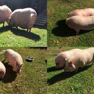 Mini Pig Body Scoring: How To Tell If Your Pig Is At A Healthy Weight