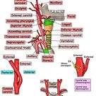 Head and Neck - Vessels - Arteries - Common carotid - General