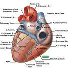 Fig 2.4 posterior view of the human heart
