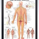 The Spinal Nerves Chart 20x26