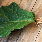 Fiddle Leaf Fig Propagation: 100% Success in 2 Easy Ways!
