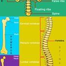 Human Skeleton for Kids | Skeletal System | Human Body Facts
