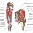 Neurovasculature of the hip and the thigh | Kenhub