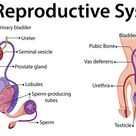 Download Diagram showing male reproductive system for free